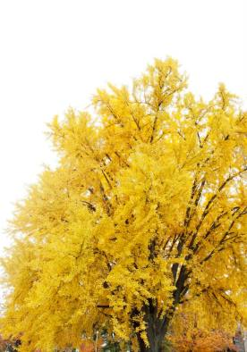 Yellow_tree